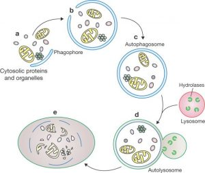 Ilustrasi proses autofagi. Sumber gambar: nature.com.