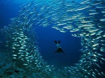 Perilaku mengelompok ikan untuk menghindari serangan predator (anjing laut).