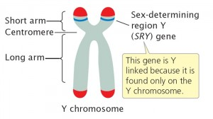 Sumber gambar: http://www.nature.com/scitable/topicpage/genetic-mechanisms-of-sex-determination-314