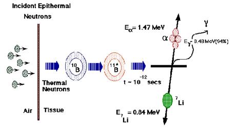 Skema reaksi penangkapan neutron oleh boron-10 yang menghasilkan partikel alfa dan litium-7 (sumber: http://web.mit.edu/nrl/www/bnct/info/description/description.html).