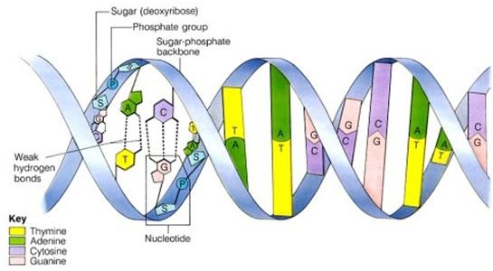 Struktur DNA. (gambar dari: http://ehrig-privat.de/ueg/images/dna-structure.jpg)