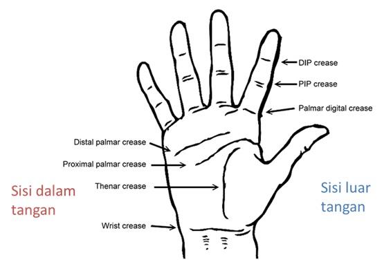 Diagram Rajah Tangan. Ada tiga rajah utama pada telapak tangan: distal palmar crease, proximal palmar crease, dan thenar crease. Rajah lainnya terletak pada jari (DIP = Distal Interphalangeal, PIP = Proximal Interphlangeal) dan pergelangan tangan (wrist crease). Gambar dari: http://thefitcoach.wordpress.com/2012/06/15/gym-bag-contents-part-2-supportive-equipment/