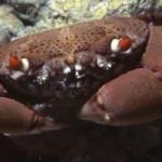 Mengenal Beberapa Spesies Kepiting Beracun