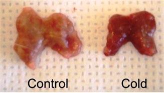 BAT pada tikus di dalam suhu ruangan (control) dan ketika cuaca dingin (cold).