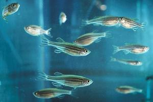 Zebrafish: Si Kecil Bermanfaat Besar