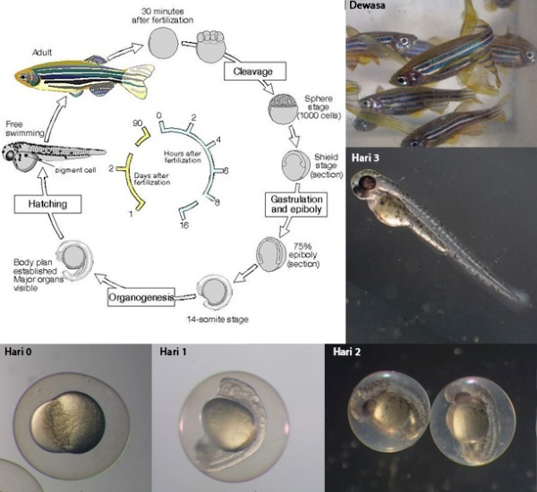 Siklus hidup dan proses perkembangan zebrafish. Sumber gambar: http://www.daniorerio.com/zebrafish-conferences-meetings/ http://www.cas.vanderbilt.edu/bioimages/animals/danrer/zfish-devel.htm