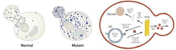 Sel ragi normal dan mutan yang menjadi objek penelitian transpor vesikel. (Kiri) Sel pada ragi yang normal atau tidak termutasi, terlihat bahwa transpor vesikel lancar. Namun pada sel mutan (kanan) yang telah dimanipulasi secara genetik, terdapat penumpukan vesikel di dalam sel sehingga gen yang termutasi tersebut merupakan gen yang mengatur transpor vesikel baik antar kompartemen di dalam sel maupun ke permukaan sel. (Kanan) gen-gen yang berhasil ditemukan dan berperan penting dalam transpor vesikel. Sumber gambar: www.nobelprize.org dan Nature Medicine, Vol.8 No.10, 2002.