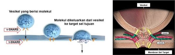 Mekanisme pelepasan molekul dari vesikel ke target sel tujuan melalui perlekatan v-SNARE dan t-SNARE spesifik. Sumber gambar: http://nobelprize.org (dengan modifikasi) dan Nature Medicine, Vol 8 No. 10, 2002.