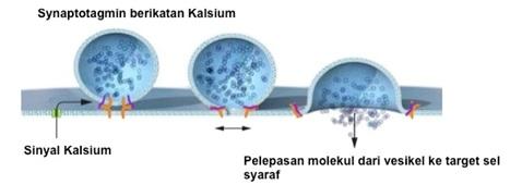 Proses fusi vesikel pada sel saraf. Südhof meneliti mekanisme kompleks protein yang menangkap sinyal kalsium dan menerjemahkan informasi tersebut untuk fusi vesikel dan melepaskan molekul dari sel saraf yang satu ke sel saraf yang lain. Sumber gambar: http://nobelprize.org (dengan modifikasi).