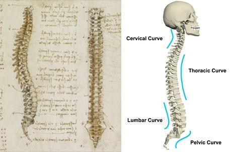 Gambar struktur tulang belakang versi Da Vinci (kiri) dan versi modern (kanan). Sumber gambar: http://www.bbc.com/culture/story dan http://www.anatomy.tv/StudyGuides