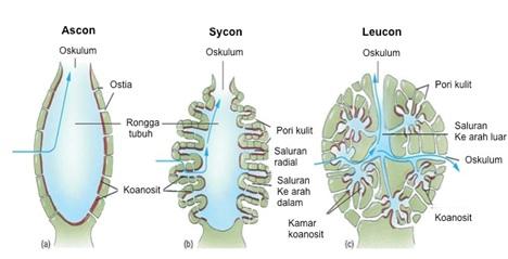 Pembagian tipe saluran air pada spons. Sumber gambar (dengan modifikasi):  http://science.kennesaw.edu/~jdirnber/InvertZoo/LecPorifera/Porif.html