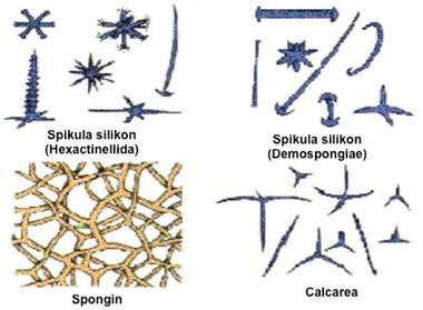 Spons dan bentuk spikula. Gambar dimodifikasi dari: http://science.kennesaw.edu/~jdirnber/InvertZoo/LecPorifera/Porif.html