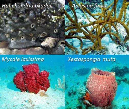 Contoh variasi spons laut kelas Demospongia. Sumber gambar: http://coralpedia.bio.warwick.ac.uk