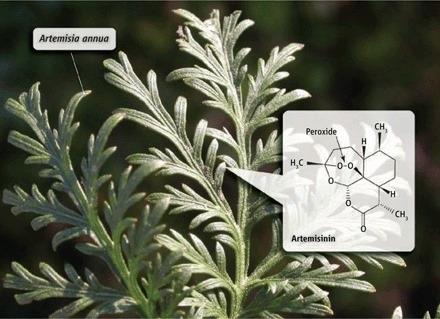 Tanaman Artemisia annua.