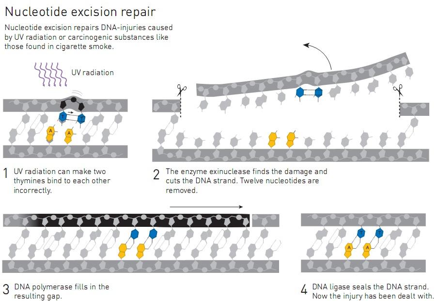 """Ilustrasi mekanisme """"Nucleotide Excision Repair"""". Dua timin yang rusak akibat radiasi UV, 12 nukleotida disekitarnya dipotong dengan enzim eksinuklease. Kemudian DNA polimerase dan DNA ligase memerankan peran yang dama dengan mekanisme """"Base Excision Repair"""". Sumber: http://kva.se"""