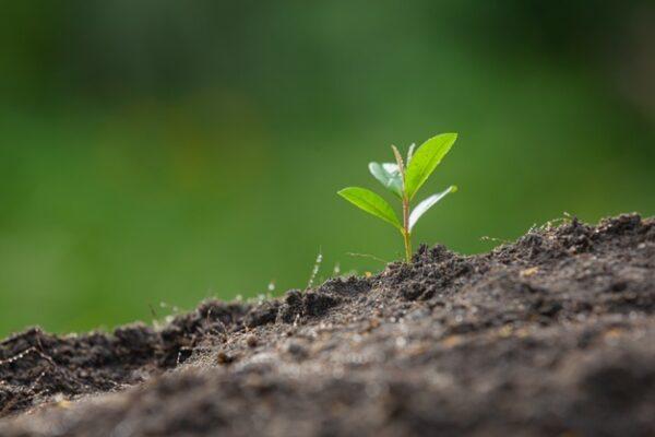 Fitohormon dalam Pertumbuhan Tanaman